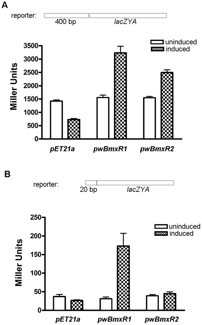 w BmxR1 and w BmxR2 positively regulate the transcription of ribA lacZ reporter. β–galactosidase assays were used to measure the transcriptional activities of lacZ reporter constructs. E. coli strain C2566 transformed with the reporter plasmid and protein expression vector pET21a , or pwBmxR1 , or pwBmxR2 were tested. β–galactosidase assays were performed on induced (IPTG) and un-induced samples. Miller units are shown as mean ± standard deviations from 3 replica experiments. The ribA promoter region containing 400 bp (A) or 20 bp minimal binding sequence (B) were fused to a promoter-less lacZ and cloned into low copy plasmid pACYC184 to generate the reporter plasmid.