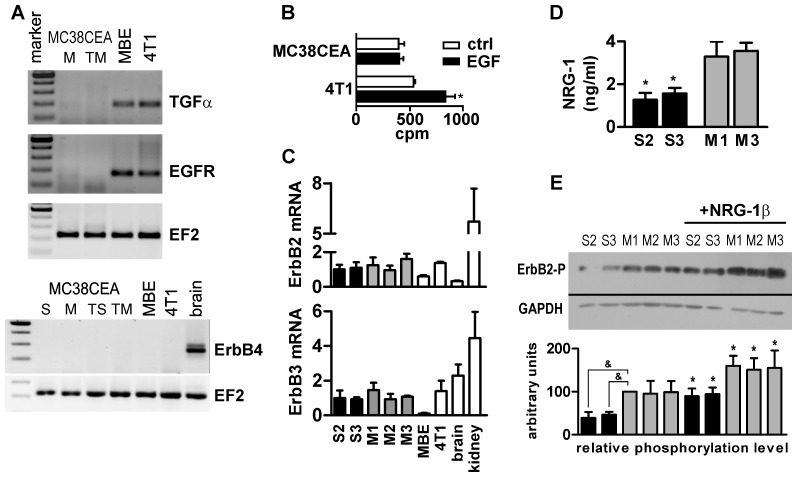 Expression of growth factors and growth factor receptors by MC38CEA colon carcinoma. ( A ) <t>RT-PCR</t> analysis of the expression of TGFα, EGFR and ErbB4 in MC38CEA cells in culture, in MC38CEA tumors and in positive controls: murine brain endothelial cells (MBE) and murine breast cancer cell line (4T1) and murine brain. <t>cDNA</t> from: M – mock-transfected cells, TM – mock-transfected tumors, S – ADAM17-silenced cells, TS – ADAM17-silenced tumors. Amplification of cDNA coding for elongation factor 2 (EF2) was performed as a control of samples' quality. ( B ) Analysis of the effect of exogenous EGF on 3 H-thymidine incorporation into MC38CEA or 4T1 cells (positive control). * – P