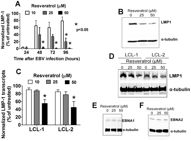 Resveratrol downregulates LMP1 expression in EBV-infected B cells. (A) EBV-infected B cells were cultured for up to 96 hours with the indicated concentrations of resveratrol. Cellular RNA was extracted and the levels of LMP1 transcripts were determined using qRT-PCR. Error bars represent means±SEM of three independent experiments (B) B cells were infected with EBV for 72 hours and then cultured in the presence or absence of resveratrol for another 48 hours, after which the expression of LMP1 proteins was assessed using Western blotting. (C) Two EBV-immortalized LCLs were cultured with or without resveratrol for 48 hours and the levels of LMP1 transcripts were assessed using RT-PCR. Error bars represent means±SEM of three independent experiments (D) Whole-cell proteins from LCLs that were treated as in panel C were subjected to Western blotting and probed with anti-LMP1 antibodies. A representative figure of three independent experiments is shown. LCLs were treated as in panel C and the whole-cell protein extracts were analyzed using Western blotting with antibodies specific for EBNA1 (E) and EBNA-2 (F). The figures shown are representative results of three independent experiments.
