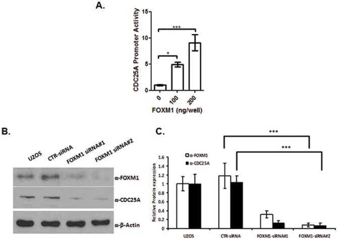 The FOXM1 transcription factor regulates CDC25A gene expression. (A) FOXM1 increased the transactivation of CDC25A promoter. U2OS cells were co-transfected with pGL3-CDC25A promoter reporter along with increasing doses of pACT-FOXM1 for 48 h. pACT vector was used as the empty vector, and pRL-SV40 expressing Renilla luciferase was used as an internal control. Data represent the mean ± SD (N = 3). *, p