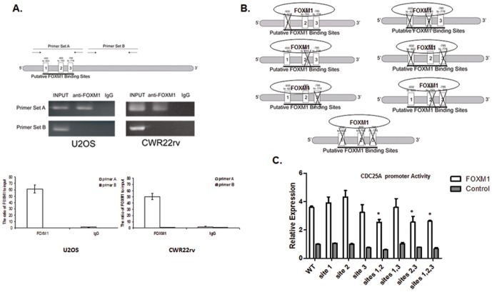 FOXM1 directly binds to the putative FOXM1 consensus binding sequences located on the <t>CDC25A</t> promoter. (A) FOXM1 binding to CDC25A promoter was confirmed by ChIP-qPCR. Primer set A was designed to span three FOXM1 binding sites, and primer set B, targeting a region of the promoter that did not include the FOXM1 binding sites, was used as the control. Chromatin immunoprecipitations of U2OS cells were prepared using anti-FOXM1 antibody. Semi-quantitative PCR was performed using the primer sets A and B, and the PCR products were detected by electrophoresis (Top). Quantitative PCR was performed using the primer sets A and B, and the binding activity of FOXM1 to CDC25A promoter was evaluated by the fold enrichment method. (B–C) The three FOXM1 binding sites on the CDC25A promoter are functionally redundant (B) Schematic diagram showing the mutations of the three FOXM1 binding sites on the CDC25A promoter. (C) U2OS cells were transfected with pACT-FOXM1 or empty vector control, along with the indicated CDC25A promoter-luciferase reporter construct. Targeted mutation of single FOXM1 binding sites did not significantly affect CDC25A transactivation. Mutations of sites 1 and 2, sites 2 and 3, and sites 1, 2, and 3 significantly reduced the transactivation of the CDC25A-luciferase reporter. Data were normalized to Renilla luciferase activities and are presented as the mean wild-typefold induction over empty vector control ± SD (N = 3). Data were subjected to one-way ANOVA (significance level α = 0.05) and Dunnett's multi-comparison post-hoc tests (mutations vs. wild-type). * P