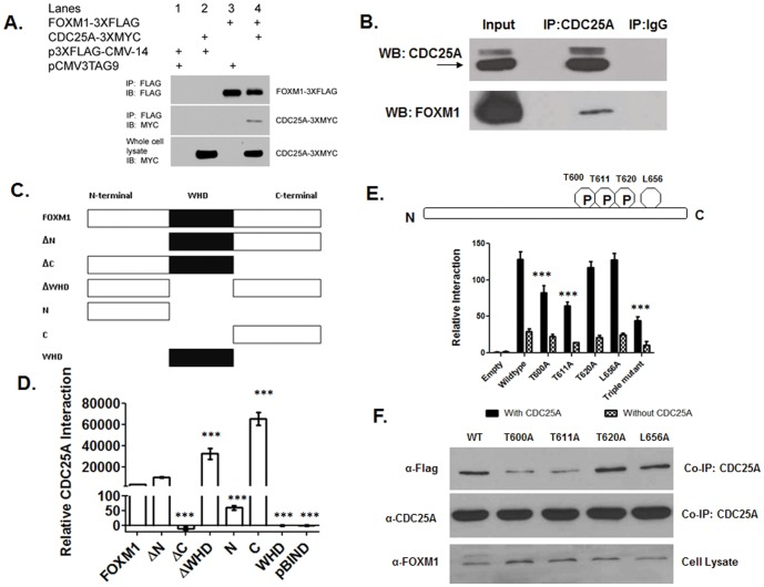 CDC25A phosphatase activates FOXM1 transcriptional activity by direct protein-protein interaction. (A) CDC25A and FOXM1 proteins physically interact. The protein-protein interaction of FOXM1 and CDC25A was confirmed by co-immunoprecipitation. HEK293T cells were co-transfected with p3×FLAG-CMV-14-FOXM1 (FOXM1-3×FLAG) or the empty vector control p3×FLAG-CMV-14, along with <t>pCMV3Tag9-CDC25A</t> (CDC25A-3×MYC) or the empty vector control (pCMV3Tag9). Lysates were immunoprecipitated with anti-FLAG agarose resin, separated by PAGE, and electroblotted to PVDF. Western blot analysis showed that CDC25A-3×MYC co-immunoprecipitates with FOXM1-3×FLAG, supporting the hypothesis that these two expressed proteins interact. (B) The native protein interaction between FOXM1 and CDC25A was detected by co-immunoprecipitation. 6×10 6 U2OS cells were lysed in MPER buffer containing 1× protease/phosphatase inhibitors. Whole cell lysates were pre-cleared with protein G sepharose and normal rabbit IgG overnight at 4°C with end-over-end mixing. The cell lysates were incubated with anti-CDC25A antibody overnight at 4°C and then with protein G sepharose for 1 h at 4°C. The resin was washed three times, and the eluted protein complex was separated by PAGE and analyzed using the anti-FOXM1 antibody by Western blotting. (C) Schematic diagram showing FOXM1 deletion constructs used to identify FOXM1 domains critical to the interaction with CDC25A. Sequences encoding the specific FOXM1 deletion constructs were subcloned in pBIND. (D) A mammalian two-hybrid assay reveals a critical role for the FOXM1 C-terminus in interactions with CDC25A. pBIND construct (FOXM1, deletion, or empty) was co-transfected with pACT construct (CDC25A or empty) and pG5luc reporter. Data represent the mean ± SD, normalized to Renilla luciferase activities (N = 3). Co-expression of the C-terminal FOXM1 and CDC25A revealed a robust interaction. In a construct lacking the C-terminus, the interaction between FOXM1 and CDC25A 