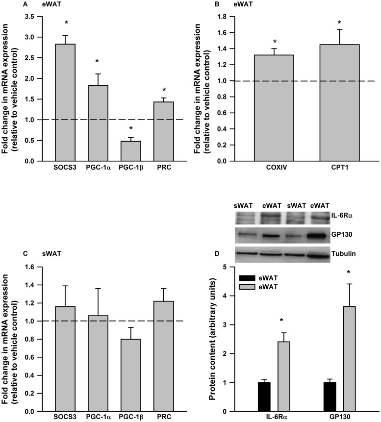 IL-6 exerts depot specific differences in gene expression in mouse adipose tissue. IL-6 treatment (6 hours, 75 ng/ml) increased the expression of A) SOCS3, PGC-1α and PRC mRNA in cultured epididymal adipose tissue (eWAT). B) A 12 hr IL-6 (75 ng/ml) treatment increased the expression of COXIV and CPT-1 in cultured eWAT. C) Cultured subcutaneous adipose tissue (sWAT) was not responsive to IL-6 treatment (75 ng/ml, 6 hours) and this was associated with D) reductions in the protein content of IL-6 receptor alpha and GP130. Data are presented as means + SE for 7 cultures, each from an individual mouse, per group and is expressed relative to the vehicle treated control culture from the same animal. For the Western blot data in D) data are presented as means + SE for 8–10 mice per group. Representative Western blots are presented above the quantified data. * P