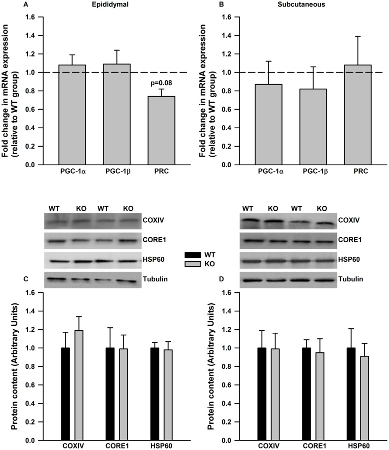 PGC-1 expression and mitochondrial markers proteins are not different in adipose tissue from WT and IL-6 −/− mice. The mRNA expression of PGC-1 co-activators (A and B) and mitochondrial marker proteins (C and D) are not different in epididymal (A and C) and subcutaneous adipose tissue (B and D) from WT and IL-6 −/− deficient mice. In A and B mRNA data is expressed relative to values in WT controls. Representative Western blots are given above the quantified data in C and D. Data are means + SE for 10 samples per group.