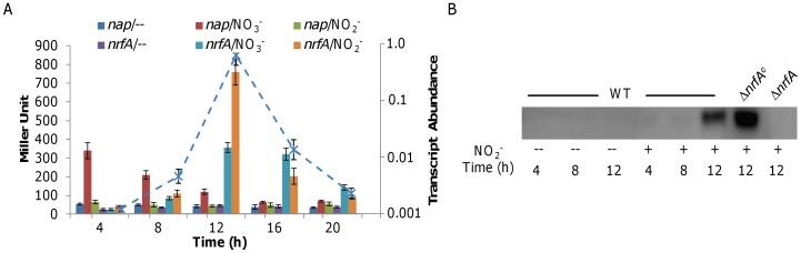 Expression analysis of nrfA during aerobic growth of S. oneidensis . A. A lacZ -based reporter analysis of the nap and nrfA promoters. Presented in columns is expression of nap and nrfA in the cells cultured aerobically in the absence of nitrite (/−) and in the presence of either nitrate (/NO 3 − ) or nitrite (/NO 2 − ). The napA mutant instead of the wild type was used here to keep nitrate unreduced. The nrfA mRNAs in the samples growing with NaNO 2 were also analyzed by qRT-PCR and presented (dash line, abundance relative to 16 S rRNA). Error bars represent the standard deviation (SD) ( n = 3). B. Western analysis of the cell samples used in A. Wild type cells grown in the absence or presence of nitrite at indicated time points were assayed, respectively. The complemented Δ nrfA (Δ nrfA c , carrying P nrfA -nrfA ) exhibited over-production of NrfA and Δ nrfA was used as the negative control.