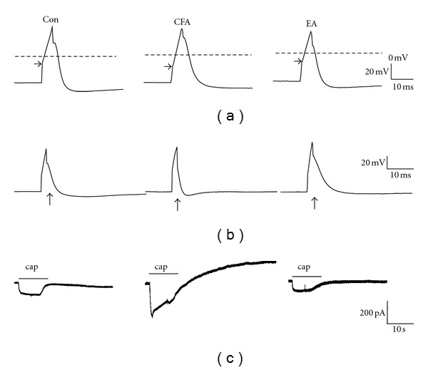 Electrophysiological properties of AP (action potential) and TRPV1-mediated inward currents in the Con (control), CFA (complete Freund's adjuvant), and EA (electroacupuncture) groups. (a) The AP threshold was more negative in the CFA group than in the control group. EA attenuated neuron excitability by reversing the AP threshold to a positive membrane potential. (b) CFA-induced inflammation decreased both the rising and falling times compared with the control group. EA treatment decreased the neuron excitability to the control level. (c) The capsaicin- (cap-) induced inward current was increased in CFA-treated DRG neurons compared with the control group. This was reversed by EA manipulation.