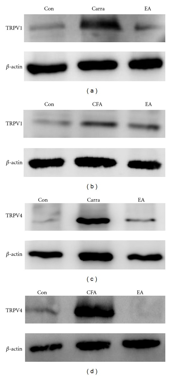 TRPV1 and TRPV4 protein levels. DRG (dorsal root ganglion) lysates underwent immunoreactions with specific TRPV1 (a and b) and TRPV4 (c and d) antibodies. TRPV1 and TRPV4 increased substantially after carra (carrageenan) or CFA (complete Freund's adjuvant) injection as compared with the saline-injected group (Con). TRPV1 and TRPV4 protein levels were attenuated by electroacupuncture (EA) at the ST36 acupoint as compared with the carra- and CFA-induced groups.