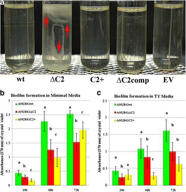 Attachment on glass (A) and polystyrene plates (B-C). ( A ) Ring formation at the glass-air-liquid interface after bacterial static growth . From left to right ANU843 (wild-type strain) and its derivatives ANU843ΔC2 (ΔC2), ANU843C2 + (C2+), ANU843ΔC2 complemented (ΔC2comp), and ANU843emptyvector (EV). Note the formation of a thick visible ring in ΔC2. ( B - C ) The data show absorbance values of CV-stained biofilms following growth in minimal media and TY at different times after inoculation. The culture media of the static culture was removed and differences in biofilm matrix development were measured by the intensity of CV staining. Before CV staining, the OD 600 of the broth cultures were measured in a Microtiter Plate reader to verify that no differences in growth rate among the wells had occurred. Each datum point is the average of at least 20 wells. Error bars indicate the standard deviation. Each experiment was repeated at least three times. Values followed by the same letter do not differ significantly according to Fisher protected LSD test at P = 0.01. The degree of biofilm formation was significantly different among the strains tested, although these differences were less pronounced in the complex medium.