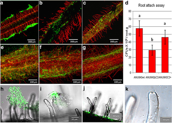 """Root attachment assays used to study the ability of rhizobia to form biofilms on Trifolium repens . ( A-C , E-G ) Confocal laser scanning microscopy of propidium iodide-stained roots inoculated with gfp-tagged ANU843 and its derivatives showing biofilm formation along the root surface at different magnifications. ( D ) Number of colony-forming units (cfu) per gram of root tissue after washing and sonicating the roots. Each datum point is the average of at least 9 determinations. Error bars indicate the standard error from the mean. Root biofilms with either wild-type or celC mutant bacteria were harvested 72 h post-inoculation. Fluorescence ( H-J ) and phase-contrast ( K ) microcopy show root hair colonization in detail. The wild-type strain ( A , E , H ) forms three-dimensional biofilms that cover both root surface and root hairs forming distinct """"caps"""" on the tip (H). In contrast, ANU843ΔC2 ( B , F , I ) establishes aggregates that cover the root irregularly and forms a thicker cap on the root hairs ( I ) whereas ANU843C2 + ( C , G , J ) appears to coat the root surface without cap formation ( J ). Nevertheless, sufficient adhesion of individual bacteria occurs on the tip to produce the hot (hole on the tip) phenotype ( K )."""