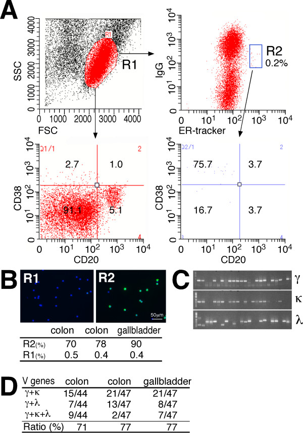 Human plasma/plasmablast cell (PC) isolation by fluorescence-activated cell sorting (FACS) using ER-tracker and anti-human IgG . (A) A representative FACS graph of cells prepared from the lymph nodes of cancer patients. Cells were stained with anti-human IgG Dylight 488 and ER-tracker, and the IgG low endoplasmic reticulum (ER) high cells were further analyzed for CD38-APC versus CD20-PE surface expression using FACS. The forward-versus-side-scatter (FSC vs SSC) with gate R1 represents lymphocytes. PCs are defined herein as CD38 high CD20 low cells. A representative FACS graph of three separate experiments is shown. The relative number of cells in each region is given as a mean percentage of three separate experiments. (B) R1-gated and R2-gated cells stained intracellularly with anti-human IgG Dylight 488 (green). Nuclei are stained with 4',6-diamidino-2-phenylindole (DAPI; blue). The numbers indicate the percentages of cells with intense cytoplasmic IgG. (C) Representative agarose gel electrophoresis of cognate pairs of V genes amplified from single-cell-sorted R3-gated cells. (D) Polymerase chain reaction (PCR) success ratio for V genes from single-cell-sorted R3-gated cells from lymph nodes of patients with colon and gallbladder cancers.