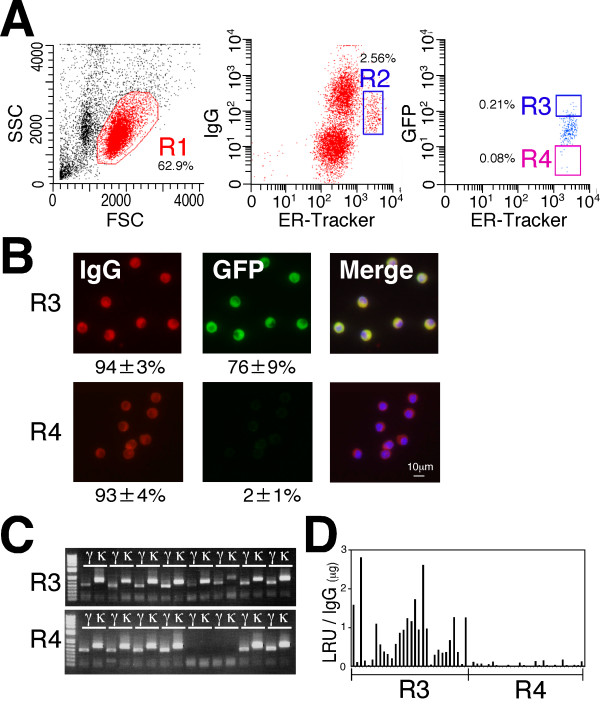 Isolation of rat antigen-specific plasma/plasmablast cells (ASPCs) using fluorescence-activated cell sorting (FACS) . (A) A representative FACS graph of the lymphocytes from green fluorescent protein (GFP)-immunized rats stained with anti-rat IgG Dylight 650, ER-tracker and GFP-Dylight 488. The forward-versus-side-scatter (FSC vs SSC) with gate R1 represents lymphocytes. Plasma/plasmablast cell (PCs) were gated as IgG low endoplasmic reticulum (ER) high (R2). The R2-gated cells were further subdivided into the ASPCs (IgG low ER high GFP + , R3 gate) and non-specific PCs (IgG low ER high GFP - , R4 gate). The numbers indicate the mean percentages of cells in the gated area from three separate experiments. (B) The R3-gated and R4-gated cells stained intracellularly with anti-rat IgG Dylight 594 (red) and GFP Dylight 488 (green). The numbers indicate the mean percentages of cells with IgG and GFP signals from three separate experiments. (C) Representative agarose gel electrophoresis of cognate pairs of V genes amplified from single-cell-sorted R3-gated and R4-gated cells. (D) Antigen specificity of the rat monoclonal antibodies (mAbs) produced from R3-gated and R4-gated cells. Cognate pairs of linear IgH and IgL genes were cotransfected into 293FT cells. The antigen specificity of the mAbs was expressed as relative light units (RLU)/IgG.