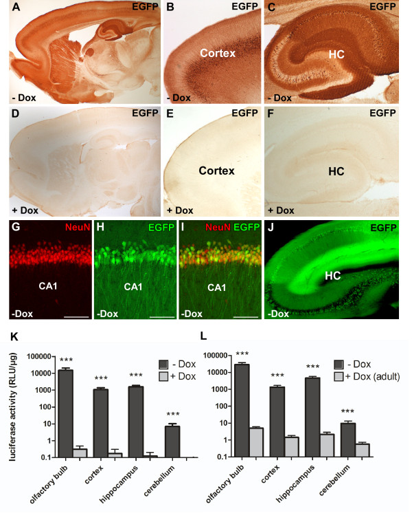 Doxycycline-mediated gene regulation in double transgenic CaMKIIα-tTA/EGFP-Ptetbi-Luc rats . (A-F) Doxycycline-controlled EGFP expression in double transgenic CaMKIIα-tTA/EGFP-Ptetbi-luc rats was visualized by immunohistochemistry on sagittal sections using an antibody against EGFP. (A-C) In the absence of Dox, strong but mosaic EGFP expression is found in the cortex and hippocampus (HC). (D-F) In adult rats, EGFP expression could be completely inhibited by chronic Dox treatment (1 mg/mL drinking water) from conception until analyses. (G-I) Dual-label fluorescent immunohistochemistry of brain slices with the neuronal marker <t>NeuN</t> and EGFP. (I) Co-localization of EGFP and NeuN was frequently found in the CA1 region of the HC indicating Ptet-controlled reporter gene expression in the absence of Dox. (J) CaMKIIα-promoter controlled tTA activity was directly visualized by EGFP fluorescence on sagittal brain sections of double transgenic CaMKIIα-tTA/EGFP-Ptetbi-Luc rats in the HC. Strong expression is mainly found in neurons of the CA1 and CA3 region. (K,L) Level of luciferase activity in different brain regions in the absence (-Dox, black) and presence of Dox (+Dox, 1 mg/mL, lightly shaded). The measured double transgenic animals were obtained by crossing the CaMKIIα-tTA line 4.5 to the EGFP-Ptetbi-luc 66.1 reporter line. (K) Animals were treated with Dox from conception throughout life until the day of analyses at the age of two months (+Dox, n = 5). Untreated control animals were measured at the same age (-Dox, n = 8). In Dox-treated CaMKIIα-tTA/EGFP-Ptetbi-luc rats, virtually no luciferase activity could be detected, while strong luciferase activity was found in all forebrain-specific regions (cortex, HC, olfactory bulb) of untreated rats (-Dox), leading to a highly significant difference between Dox-treated and untreated rats (*** P ≤ 0.001). (L) To assess whether reporter gene expression could be suppressed with Dox in adult rats (+Dox adult), double transgen