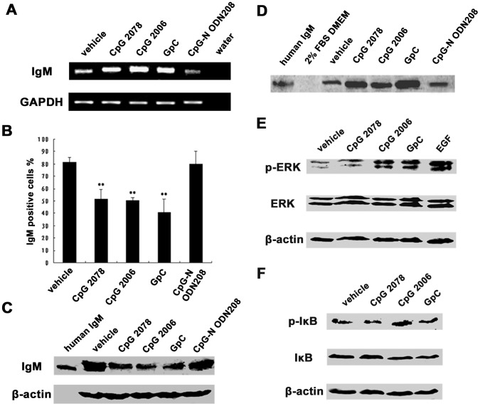 TLR9 agonists stimulated human epithelial cancer cells to secrete IgM. A, Ig µ mRNA level was analyzed by semiquantitative RT-PCR after stimulation by CpG 2006, and the two non-CpG ODN controls, CpG 2078 and GpC. CpG-N ODN208, as negative control; GAPDH, internal control. B, flow cytometry analysis showed that cytoplasmic IgM was decreased after stimulation with CpG 2006, CpG 2078, and GpC. CpG-N ODN208, as negative control. ** P