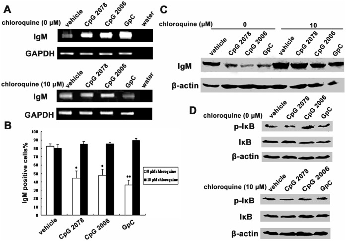Chloroquine abolished effects for TLR9 agonists on IgM secretion in HeLa MR cells. A, semi-quantative RT-PCR showed increased Ig µ expression after stimulation by CpG 2006, CpG 2078 and GpC (upper panel). The effects of TLR9 agonists were abolished by chloroquine (lower panel). GAPDH, internal control. B, flow cytometry analysis showed that the cytoplasmic IgM level was decreased after stimulation with CpG 2006, CpG 2078 and GpC, and that this was abolished by chloroquine. * P