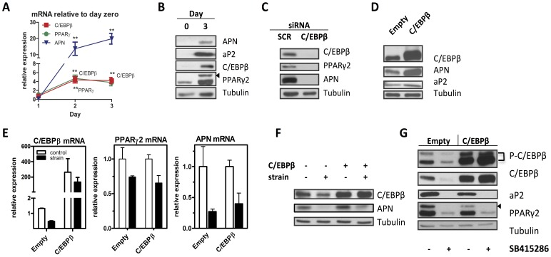 C/EBPβ overexpression does not rescue adipogenesis from mechanical inhibition. A, C3H10T1/2 cells cultured in adipogenic media and analyzed on indicated days by real time PCR for C/EBPβ, PPARγ, and adiponectin (APN) n = 3, **p