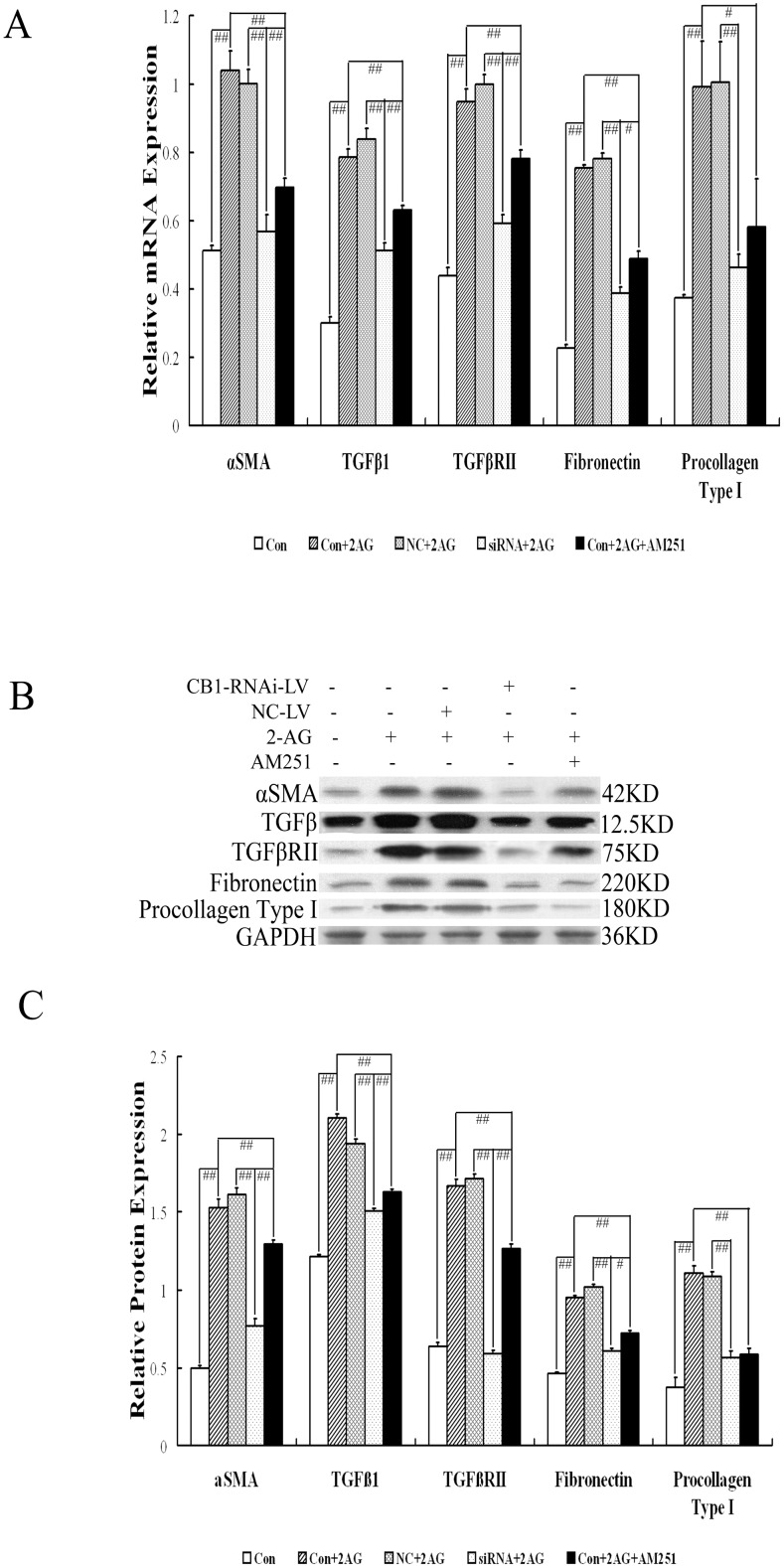 """Effect of CB1-RNAi-LV on activation and ECM production of primary hepatic stellate cells. ( A ) The statistical results of α-SMA, TGF-β1, TGF-β RII, fibronectin and procollagen type I mRNA expression in HSCs (named Con), HSCs with 2-AG (named Con+2AG), HSCs with NC-LV and 2-AG (named NC+2AG), HSCs with CB1-RNAi-LV and 2-AG (named siRNA+2AG), HSCs with 2-AG and AM251 (named Con+2AG+AM251) by RT-PCR analysis. Relative expression levels of mRNA were normalized against those of GAPDH mRNA. ( B ) shows representative graphs of α-SMA, TGF-β1, TGF-β RII, fibronectin and procollagen type I protein expression by Western blot analysis and ( C ) shows the statistical results. Results demonstrated that the mRNA and protein expressions of α-SMA, TGF-β1, TGF-β RII, fibronectin and procollagen type I in HSCs were all increased significantly after 2-AG stimulation, which were all decreased significantly when stimulated with AM251 or transfected with CB1-RNAi-LV. Furthermore, the mRNA expression of α-SMA, TGF-β1, TGF-β RII and fibronectin in HSCs stimulated by 2-AG and AM251 was higher significantly than that in HSCs stimulated by 2-AG and transfected with CB1-RNAi-LV. """"#"""" p"""