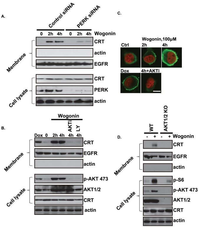 Wogonin induced <t>calreticulin</t> <t>(CRT)</t> translocation to cell surface membrane is dependent on the PERK and PI3K/AKT. Gastric carcinoma cell line MFC cells were transfected with scramble siRNA (Ctrl, 200 nM) or PERK siRNA (200 nM), after 48 hours, expression level of PERK was detected by Western blots to verify PERK level after siRNA treatment. Successfully PERK knockdown cells and their control cells (Ctrl siRNA treated cells) were treated with wogonin (100 µM) for 2 and 4 hours. Cell surface proteins in the plasma membrane fraction were than biotinylated and tested for CRT, EGFR and actin. Total cell lysate were also obtained to test CRT, PERK and actin (A). MFC cells were pretreated with AKT specific inhibitor X (AKTi 100 nM) or PI3K/AKT inhibitor LY294002 (100 nM) for 2 hours, followed by wogonin (100 µM) treated for 2 and 4 hours, CRT, EGFR and actin in the plasma membrane protein fraction were detected by Western blots. CRT, p-AKT (ser 473), AKT1/2 and actin in total cell lysate were also detected by Western blots (B).CRT translocation to cell surface after wogonin treatment was also confirmed by confocal immune-fluorescence microscopy, the translocation was inhibited by Akt inhibitor X (AKTi 100 nM), doxorubicin (Dox, 1 µM, 2 hrs treatment) was used here as positive controls. (C). WT and AKT1/2 double knockout MEFs were treated with wogonin (100 µM) for 4 hours; CRT, EGFR and actin in the plasma membrane protein fraction were detected by Western blots. P-S6 (S235/236), p-AKT (S473), AKT1/2, CRT and actin in whole cell lysate were detected by Western blots(D). Experiments in this figure were repeated at least 3 times and similar results were obtained. Bar = 10 µm.