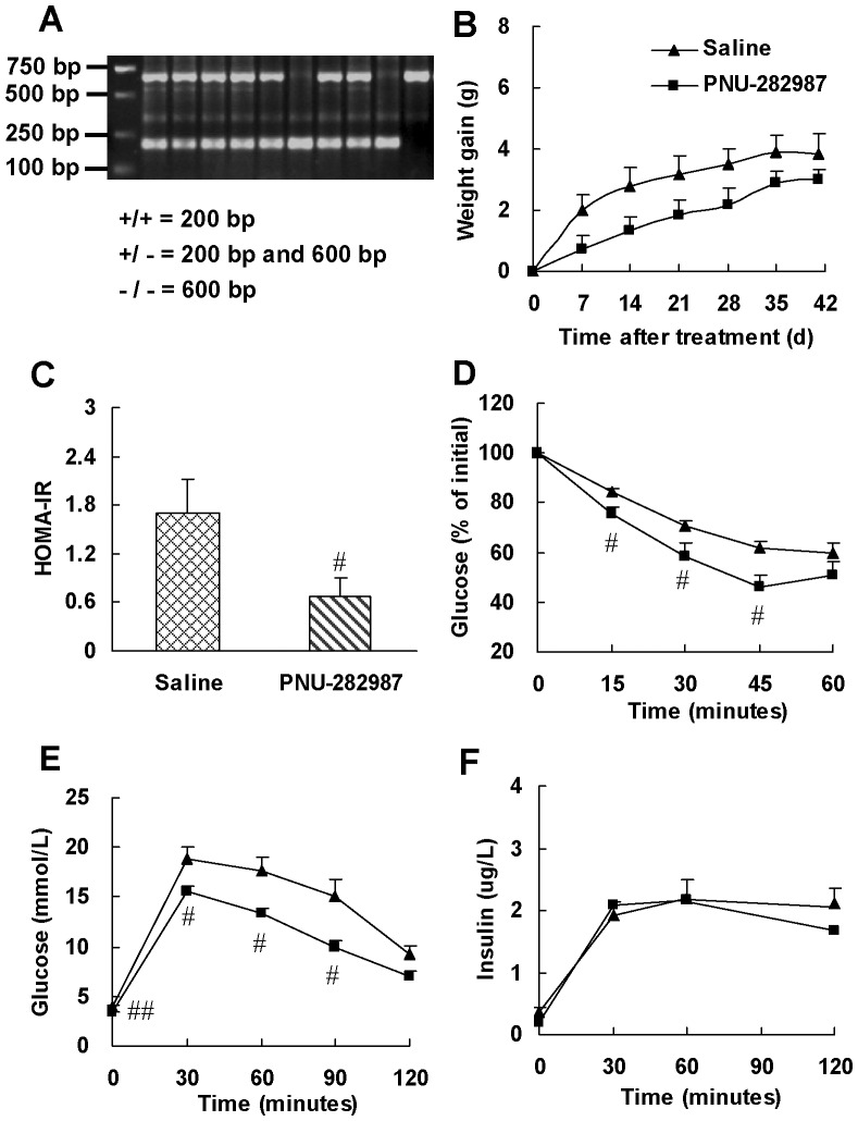 Selective α7-nAChR agonist, PNU-282987, enhances insulin sensitivity in AMPKα2 −/− mice. (A) Genotype characterization by PCR analysis of tail DNA from offspring derived from heterozygous intercrosses. Expected fragment sizes of the wild-type mice (+/+; 200 bp), heterozygous knockout mice (+/−, 200 bp and 600 bp) and homozygous knockout mice (−/−; 600 bp) are shown. (B) Weight gain in mice during PNU-282987 treatment. At the end of treatment, (C) HOMA-IR, (D) insulin tolerance test (ITT) and (E, F) glucose tolerance test (GTT) were performed. ITT was performed in mice 6 h after food removal with insulin challenge at 0.55 IU/kg of body weight (i.p.). GTT was performed in overnight fasted mice with glucose challenge at 2.0 g/kg of body weight (i.p.). Data are means ± SE (n = 5–6). # P