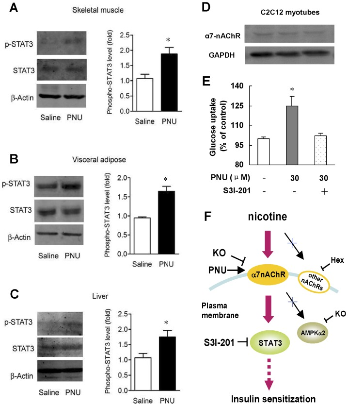 Selective α7-nAChR agonist, PNU-282987, enhances insulin sensitivity through activating STAT3. Western blots in (A) skeletal muscle, (B) visceral adipose and (C) liver in wild type mice after six weeks of saline or PNU-282987 treatment. Data are means ± SE (n = 5–6). * P