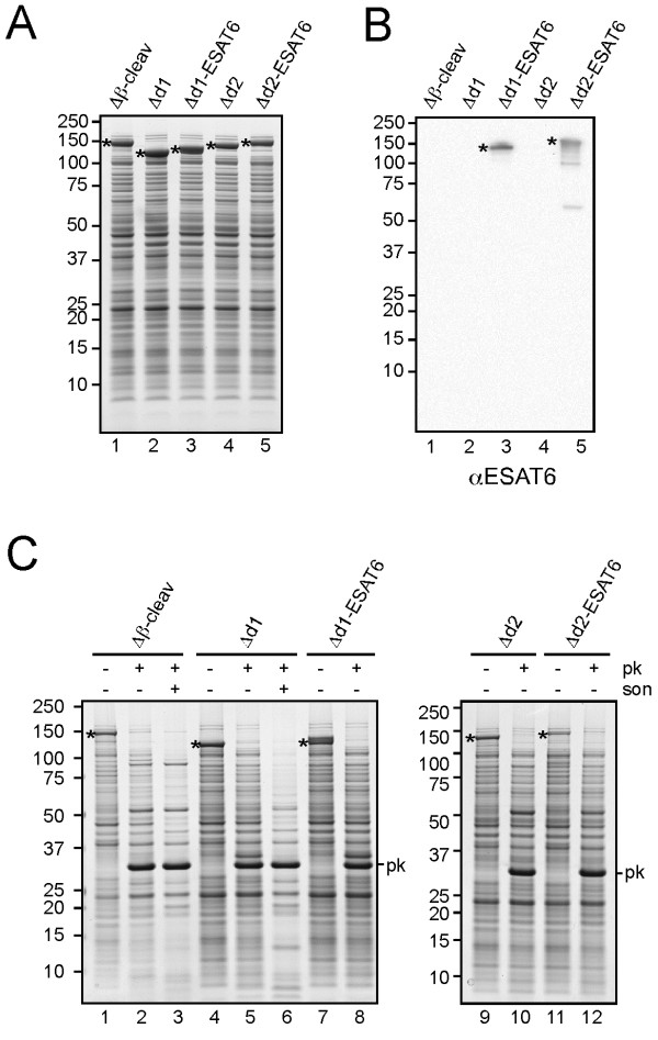 Cell surface exposure of HbpD-ESAT6 fusions. ( A-B ) Expression of Hbp display constructs analyzed by Coomassie staining (A) or immunoblotting (B) as described in the legend to Figure 1 . ( C ) Proteinase K accessibility of HbpD-ESAT6 fusions at the cell surface. Part of the cells described under A was collected and resuspended in 50 mM Tris–HCl, pH 7.4, 1 mM CaCl. For Hbp(Δβ-cleav) and HbpD(Δd1), half of the cell suspension was lysed by sonication ( son ) on ice using a tip sonicator (Branson Sonifier 250). Subsequently, all samples were incubated with Proteinase K ( pk ; 100 μg/ml) at 37°C for 1 h. The reaction was stopped by addition of 0.1 mM phenylmethanesulfonylfluoride (PMSF) and incubation on ice for 5 min. Samples were TCA precipitated before analysis by SDS-PAGE and Coomassie staining. Non-cleaved Hbp species (*) are indicated. Molecular mass (kDa) markers are indicated at the left side of the panels.