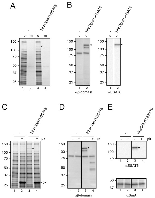 Display of ESAT6 by attenuated Salmonella typhimurium. ( A - B ) Expression of HbpD(Δd1)-ESAT6. S. typhimurium SL3261 (-) and a derivative expressing HbpD(Δd1)-ESAT6 were grown to mid-log phase in LB medium at 37°C. The equivalent of 0.03 OD 660 units cells (c) and corresponding culture medium (m) samples was analyzed by SDS-PAGE and Coomassie staining (A) or immunoblotting (B). ( C - E ) Exposure of HbpD(Δd1)-ESAT6 at the S. typhimurium cell surface. ( C ) Cells from A were collected and resuspended in icecold reaction buffer (50 mM Tris HCl, pH 7.4, 1 mM CaCl 2 ). The samples were treated with 100 μg/ml Proteinase K ( + pk ) or mock-treated ( - pk ) at 37°C for 1 h. The reaction was stopped by incubation with PMSF (0.1 mM) for 10 min on ice. Samples were TCA precipitated and analyzed as described under A . ( D - E ) Samples described under C were analyzed by immunoblotting. Cell integrity during the procedure was demonstrated by showing the inaccessibility of the periplasmic chaperone SurA towards Proteinase K using anti-SurA (cf. lanes 1, 3, 5 and 2, 4, 6, resp.). Non-cleaved Hbp species (*) are indicated. Molecular mass (kDa) markers are shown at the left side of the panels.