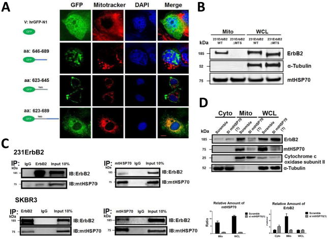 """Analysis of the mechanisms of mtErbB2 mitochondrial localization. (A) MCF7 breast cancer cells were transfected with plasmids encoding either GFP alone, or GFP fused ErbB2 fragments GFP-646–689, GFP-623–645 or GFP-623–689. Cells were cultured and the florescent imaging was done as described under the """"Methods."""" Scale bars: 20 μm. (B) MDA-MB-231 cells were transfected with wild-type ErbB2 and ErbB2ΔMTS vectors and mitochondrial proteins were extracted. ErbB2 expression was measured by Western blotting analysis; α-Tubulin and mtHSP70 were loading controls. (C) Mitochondrial proteins were isolated from MDA-MB-231ErbB2 cells and immunoprecipitated with ErbB2 antibody. The immunoprecipitates were probed with anti-mtHSP70 and anti-ErbB2 (top left). Mitochondrial proteins from the same cells were precipitated with mtHSP70 antibody and the immunoprecipitates were probed with anti-mtHSP70 and anti-ErbB2 (top right). IgG was used as a negative control. Isolated mitochondrial proteins (input) were loaded as a positive control. Similar results were obtained using another breast cancer cell line, SKBR3 (bottom). (D) siRNA specific to mtHSP70 was transfected into MDA-MB-231ErbB2 cells. The cytoplasmic fraction (Cyto), mitochondrial fraction (Mito) and whole cell lysate (WCL) were separated for western blotting analysis (left). Cytochrome c oxidase subunit II and α-Tubulin were makers and loading controls for the mitochondrial fraction and the cytoplasmic fraction, respectively. The relative protein amounts of ErbB2 and mtHSP70 were calculated by determining the intensity of the protein bands followed by the normalization with loading controls (right). Experiments were repeated three times. Columns, mean of three independent experiments; bars, SE."""
