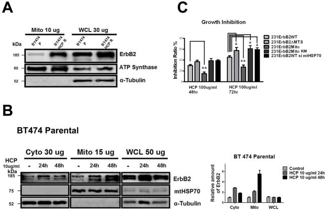 Translocation of ErbB2 into mitochondria contributes to trastuzumab resistance. (A) mtErbB2 is elevated in trastuzumab-resistant cancer cells. Mitochondrial proteins and whole cell lysates of BT474 and BT474 trastuzumab-resistant cells (BT474 HCP R) were isolated and analyzed by Western blotting. ATP Synthase and α-Tubulin were used as loading controls. (B) BT474 cells were treated with trastuzumab (HCP) at 10 ug/ml for 24 h and 48 h followed by the separation of cytosolic and mitochondrial fractions. Proteins from the cytoplasm, mitochondria and whole cell lysates were loaded onto gels and analyzed by Western blotting. mtHSP70 and α-Tubulin were used as loading controls (left). The relative protein amount of ErbB2 in the cellular fractions was calculated by detecting the intensity of the protein bands followed by normalization with loading controls (right). The experiments were repeated for three times. (C) mtErbB2-overexpressing cells are more resistant to trastuzumab. 231ErbB2WT, 231ErbB2Mito, 231ErbB2ΔMTS, 231ErbB2MitoKM and 231ErbB2WT cells transfected by siRNA to mtHSP70 were treated with trastuzumab at 100 ug/ml for 48 h and 72 h. The cell growth inhibition ratios were detected by a CellTiter 96 Aqueous One Solution Cell Proliferation Assay Kit. Columns, mean of three independent experiments; bars, SE. *, P