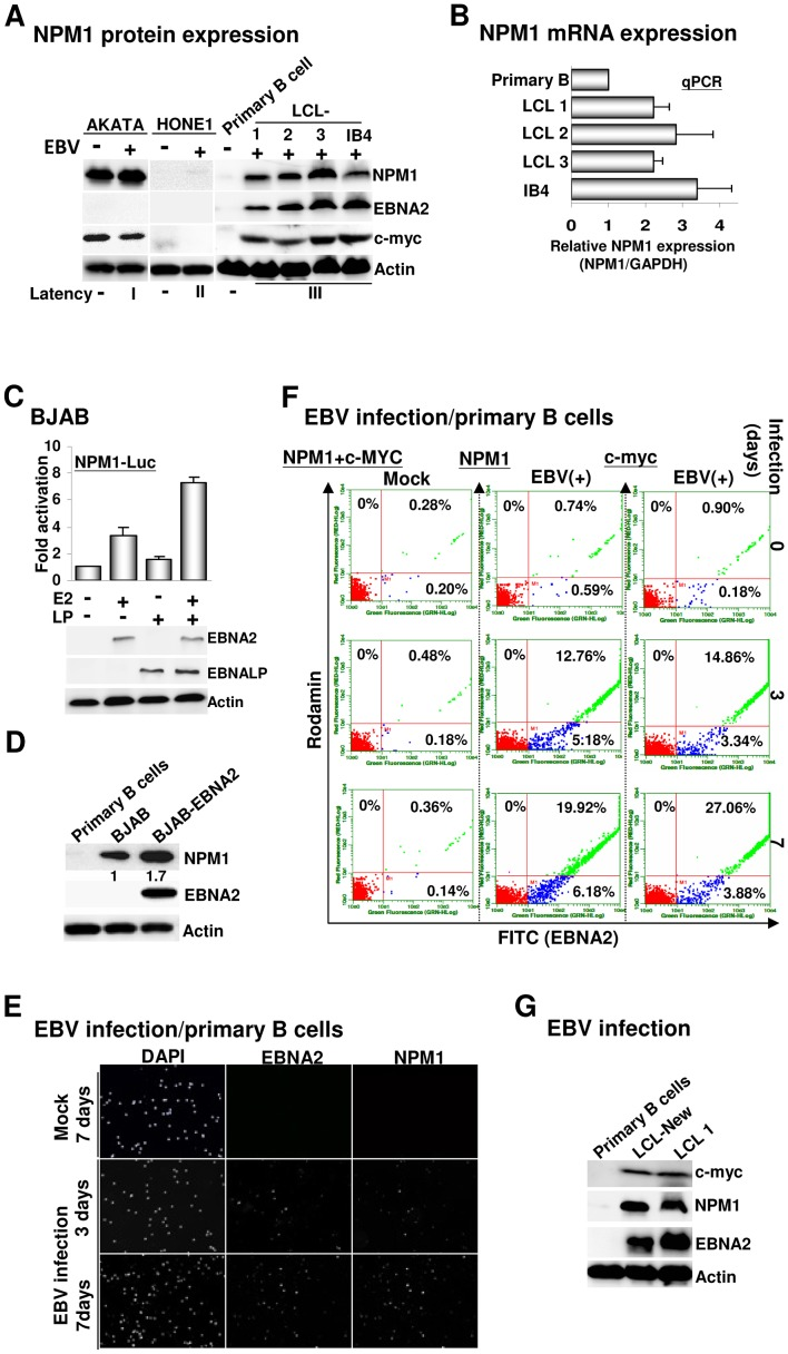 Activation of NPM1 expression is highly associated with EBV infection. A). The immunoblots for NPM1, EBNA2, c-MYC, and actin control from EBV latently infected type I AKATA BL cells, type II HONE1 nasopharyngeal carcinoma cells (NPC), type III LCLs, and EBV negatively infected AKATA, NPC HONE1, and primary B cells. B). The mRNA expression levels of NPM1 in primary B cells and four individual LCLs were determined by quantitative real-time PCR (qPCR), respectively. The amount of NPM1 mRNA is expressed in relation to that of the GAPDH control. C). The effects of EBNA2 and EBNALP on the NPM1-Luc reporter plasmid were determined by the transfection-mediated reporter assay. Error bars represent the standard deviation from the mean for data from at least three independent experiments in this and subsequent figures. The immunoblotting images for transfected EBNA2, EBNALP, and the actin control are shown. D). The expression levels of NPM1, EBNA2, and actin in primary B cells, BJAB, or BJAB-EBNA2 were determined. E–F). Primary B cells (5×10 4 ) were infected with EBV or PBS (Mock) and subjected to an IF staining protocol using antibodies for EBNA2 (v-C20), NPM1 (C-19), or c-MYC at 0, 3 or 7 days after infection (dai) followed by a donkey anti-goat antibody conjugated to FITC (Green) or a goat anti-mouse antibody conjugated to rhodamine (red). For mock infection, the Y-axis represented the signaling resulted from a double staining procedure using c-MYC and NPM1 antibodies, whereas the X-axis represented the signaling resulted from an EBNA2 immunostaining protocol. Nuclei were counterstained with DAPI. The immunostained cells were visualized by fluorescent microscopy and quantified by flow cytometry (F). G). The newly established LCL (LCL-New), or previously established LCL (LCL1) and primary B cells were assayed for EBNA2, c-MYC, and actin control expression levels.