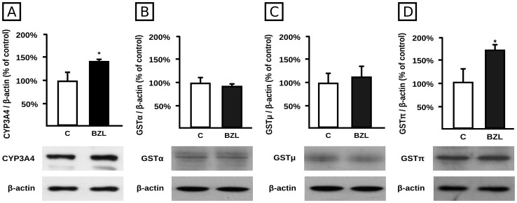 Effect of BZL on CYP3A4 and GST expression. Cells were exposed either to vehicle (C) or BZL (200 µM) for 48 h. CYP3A4 (panel A), GSTα (panel B), GSTμ (panel C), and GSTπ (panel D) levels were estimated by western blotting. Equal amounts of total protein (15 µg) were loaded in the gels. CYP3A4 or GST O.D. was related to β-actin O.D. Uniformity of loading and transfer from gel to PVDF membrane was also controlled with Ponceau S. The data on O.D. (% of C) are presented as mean ± S.D. (n = 3). Typical western blot detections are shown at the bottom. *Significantly different from C, p
