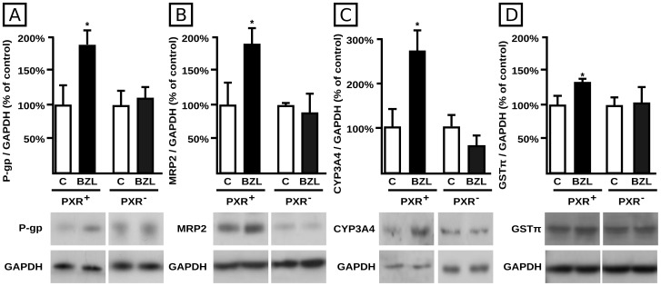 Effect of PXR knock down on BZL mediated P-gp, MRP2, CYP3A4 and GSTπ induction. P-gp (panel A), MRP2 (panel B), CYP3A4 (panel C) and GSTπ (panel D) levels were estimated by western blotting in lysates from HepG2 cells transfected either with 100 nM Control siRNA-A (PXR + ) or 100 nM PXR siRNA (h) (PXR − ) and exposed to BZL (200 µM, 48 h) or vehicle (C). Equal amounts of total protein (7 µg) were loaded in the gels. O.D. from each protein was related to GAPDH O.D. Uniformity of loading and transfer from gel to PVDF membrane was also controlled with Ponceau S. Typical western blot detections from each group are shown at the bottom of bar graphics. The results (% of each control) are expressed as mean ± S.D. (n = 3). *Significantly different from C, p