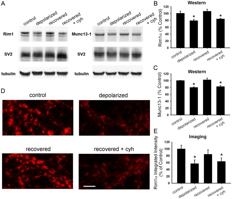 Synthesis is required for protein recovery from depolarization-induced muting. A. Western blot analysis of whole-cell lysates from hippocampal mass cultures treated with 16 h 30 mM NaCl (control), 16 h 30 mM KCl (depolarized), or 16 h 30 mM KCl followed by 3 h recovery in fresh medium with (recovered+cyh) or without (recovered) 1 µg/ml cycloheximide. Cycloheximide was applied 0.5 h prior to and during recovery. B. Summary of Rim1 levels from Western blots as shown in A ( n = 3). Rim1 protein levels for each condition were normalized to SV2 and control treatment. C. Summary of Munc13–1 levels from Western blots as shown in A ( n = 3). Munc13–1 protein levels for each condition were normalized to SV2 and control treatment. D. Representative images of Rim1 immunostaining in mass cultures after treatments as described in panel A. Scale bar represents 2 µm. E. Quantification of Rim1 immunostaining at vGluT-1-positive synapses (not shown; n = 15 fields). Integrated intensity values were normalized to the average control value for a given experiment. *p