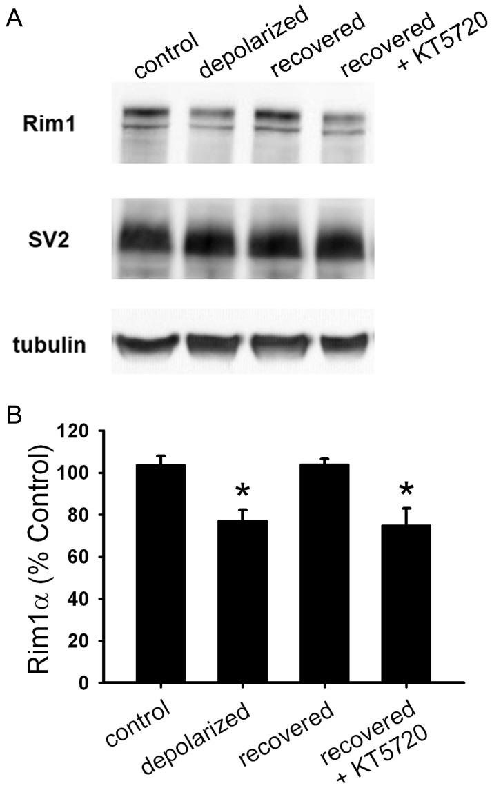 PKA signaling is required for recovery of Rim1 levels after depolarization-induced muting. A. Western blot analysis of whole-cell lysates from hippocampal mass cultures treated with 16 h 30 mM NaCl (control), 16 h 30 mM KCl (depolarized), or 16 h 30 mM KCl followed by 3 h recovery in fresh medium with (recovered+KT5720) or without (recovered) 2 µM KT5720. KT5720 was applied 0.5 h prior to and during recovery. B. Summary of Rim1 levels from Western blots as shown in A ( n = 3). Rim1 protein levels for each condition were normalized to SV2 and control treatment. *p