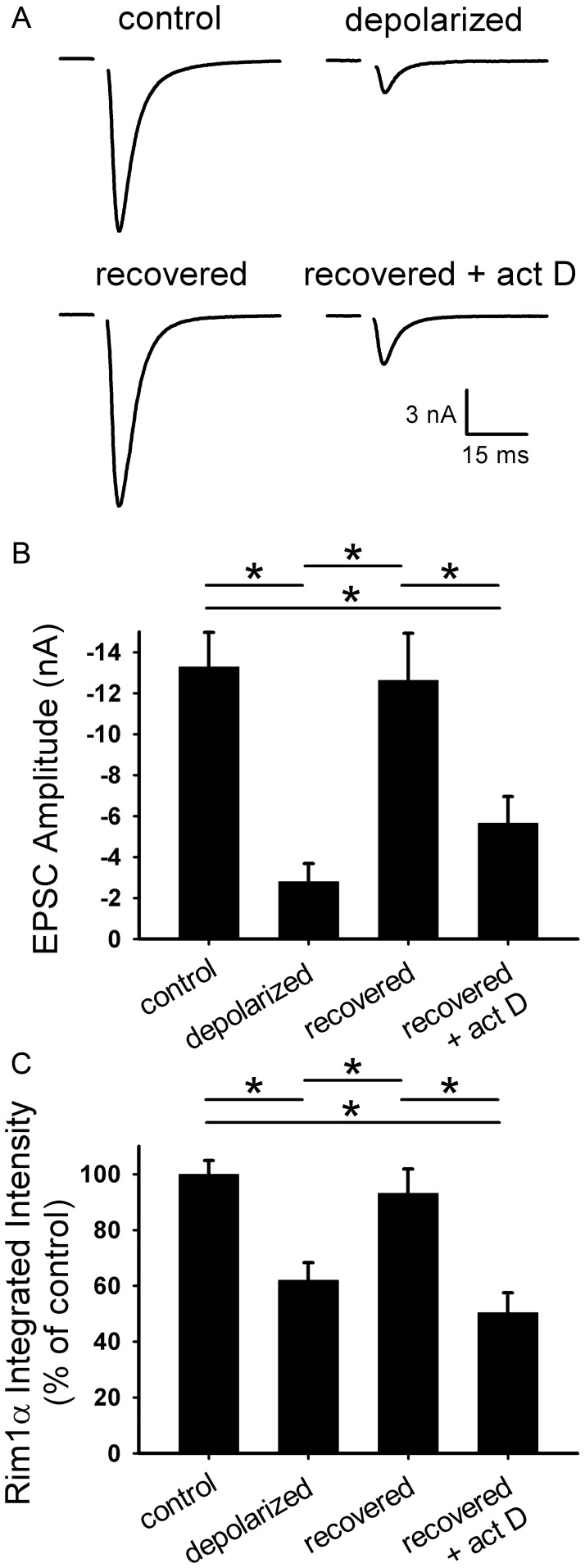 Transcription is required for functional recovery from depolarization-induced muting. A. Representative autaptic EPSCs from hippocampal neurons after 16 h 30 mM NaCl (control), 16 h 30 mM KCl (depolarized), or 16 h 30 mM KCl followed by 3 h recovery in fresh medium with (recovered+act D) or without (recovered) 200 ng/ml actinomycin D. Actinomycin D was applied 0.5 h prior to and during recovery. B. Summary of EPSC amplitudes from neurons treated as in panel A ( n = 32 neurons). C. Quantification of <t>Rim1</t> immunostaining at vGluT-1-positive synapses (not shown; n = 15 fields). Integrated intensity values were normalized to the average control value for a given experiment. *p