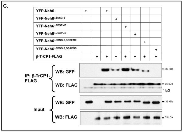 Transcription factor Nrf2 contains two separate sequences in its Neh6 domain to which β-TrCP can bind. A) COS1 cells were co-transfected with pcDNA3.1 expression plasmids encoding V5-tagged mouse Nrf2 Δ17-32 or mutants lacking SDS1, SDS2, or SDS1 and SDS2, along with pcDNA4-βTrCP1-FLAG. Empty pcDNA3.1 vector was included in the transfection mixture to normalize the amount of DNA to which cells were exposed. Following overnight transfection, the cells were serum-depleted for 16 h by transfer to DMEM containing 0.5% FBS before whole cell lysates were prepared. An aliquot (10%) of the lysate was withdrawn as the input sample, and the remainder was used for the pull-down assay that employed an antibody against FLAG as described in Materials and Methods. B) COS1 cells were co-transfected for 24 h with an expression vector for mouse Nrf2 Δ17-32 -V5, or its mutants lacking SDSGIS 338 , SDSEME 370 and DSAPGS 378 , either individually or as double deletion mutants, along with an expression plasmid for FLAG-tagged β-TrCP1. As in panel A, β-TrCP1 was pulled-down after the cells had been subjected to 16 h serum-depletion using antibodies against FLAG, and the Nrf2 mutants that co-immunoprecipitated with β-TrCP1 were detected by immunoblotting with antibodies against the V5 epitope. C) COS1 cells were co-transfected with expression vectors for a YFP-Neh6 fusion protein, or YFP-Neh6 protein lacking SDSGIS 338 , SDSEME 370 or DSAPGS 378 , or combinations thereof, along with an expression plasmid for FLAG-tagged β-TrCP1. The Neh6 domain mutants that co-immunoprecipitated with β-TrCP1 were detected by immunoblotting with antibodies against GFP.