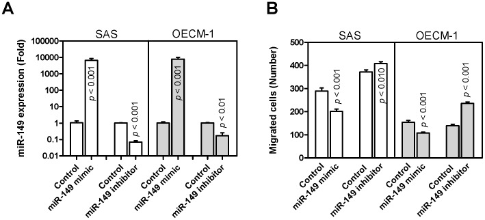 miR-149 expression and HNSCC cell migration. SAS and OECM-1 cells were transfected with miR-149 mimic and miR-149 inhibitor. (A) qRT-PCR analysis. This detected increased miR-149 expression and decreased miR-149 expression following transfecting with miR-149 mimic and miR-149 inhibitor, respectively, relative to the controls. (B) Transwell migration assay. This indicated that transient miR-149 expression decreased cell migration, and knockdown of miR-149 expression increased cell migration. The results are means ± SE from at least triplicate analysis; un-paired t -test.