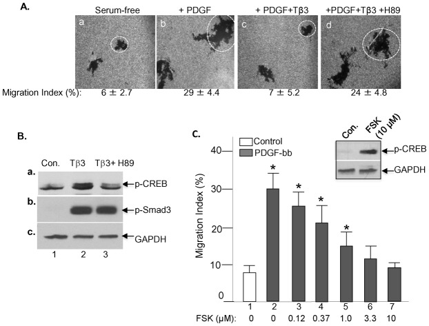 Activation of PKA alone replaces the anti-motility signal of TGFβ3 in HDFs. ( A ) HDFs were serum starved overnight and subjected to colloidal gold migration assays in the absence or presence of PDGF-bb (15 ng/ml), TGFβ3 (3 ng/ml) and PKA inhibitor, H89 (1.0 µM). Representative images of migrated cells under the indicated conditions are shown (a to d). Quantitative analyses of the migration tracks are shown underneath as Migration index (MI) (%). Average size migration tracks are marked with dotted circles. This experiment was repeated multiple times and similar results were obtained. ( B ) Serum-starved HDFs were treated without or with TGFβ3 or TGFβ3 plus H89. Total cell lysates were subjected to immunoblotting analyses with indicated antibodies. ( C ) Serum-starved HDFs were subjected to colloidal gold migration assay, as previously described, in the absence or presence of PDGF-bb (bar 1 and 2) or PDGF-bb plus increasing concentrations of forskolin, an activator of PKA (bars 3 to 7). The effectiveness of forskolin (10.0 µM) on HDFs is indicated by causing an increased phosphorylation of CREB (insert image) in the cells. These experiments were repeated three times. *Statistically significant over the control, P