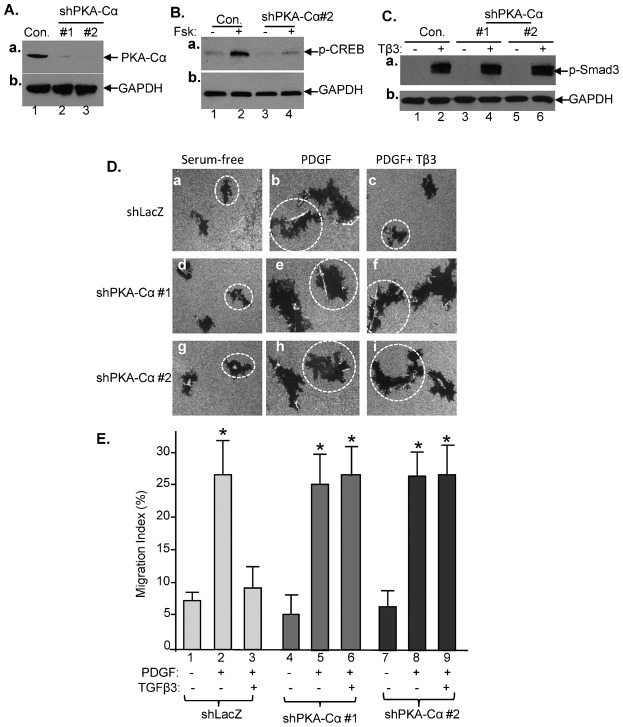 PKA acts downstream R-Smads to mediate anti-motility signaling of TGFβ3. ( A ) HDFs were infected with FG-12 lentivirus carrying either a GFP control gene or a shRNAs against PKA-Cα. After 48 hours, downregulation of the endogenous PKA-Cα was confirmed by immunoblotting the lysates of the cells with an anti-PKA-Cα antibody. ( B ) Downregulation of PKA-Cα blocks <t>forskolin-stimulated</t> CREB phosphorylation (lane 4 versus lane 2). ( C ) Downregulation of PKA-Cα showed little effect on TGFβ3-stimulated phosphorylation of Smad3 (lanes 4 and 6 versus lane 2). ( D ) Two sets of PKA-Cα-downregulated HDFs were subjected to colloidal gold migration assay in response to PDGF-bb (15 ng/ml) in the absence or presence of TGFβ3 (3 ng/ml). Representative images of the migrated cells under the indicated conditions are shown (a to i). ( E ) The computer-assisted quantitative analyses of the migration tracks are shown as Migration index (MI) (%). The experiment was repeated four times ( n = 3, P ≤0.05). *Statistically significant over the control.