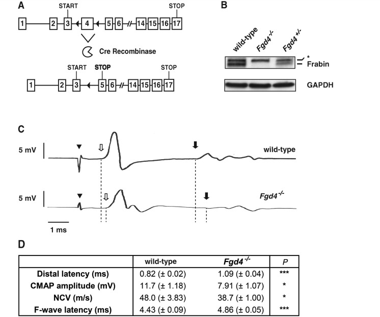 Loss of Frabin/Fgd4 leads to electrophysiological characteristics of demyelinating peripheral neuropathies. ( A ) Ablation of exon 4 in the Fgd4 locus generates a premature stop codon in exon 5 because of a frame shift (filled triangles = introduced loxP sites; START = translational start codon; STOP = conventional translational stop codon; STOP (bold) = premature translational stop codon generated after Fgd4 exon 4 ablation), resulting in B , loss of Frabin/Fgd4 protein (western blot; asterisk: unspecific signal). ( C and D ) At 60 weeks, Fgd4 − / − mice show longer distal latency, disperse compound muscle action potentials with mild reduction in amplitude, longer F-wave latency and reduced nerve conduction velocity in sciatic nerve compared with wild-type mice; in C , a representative original recording is shown. Arrowhead indicates stimulus artefact; open arrow indicates onset of compound muscle action potential (distal latency); filled arrow indicates onset of F-wave. Data represent the mean ± standard error of the mean. Wild-type mice, n = 7; Fgd4 − / − mice, n = 10. P -values in D : * P