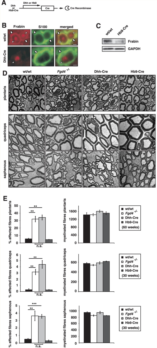 Cell type-specific gene ablation reveals that Schwann cells require <t>Frabin/Fgd4</t> for proper myelination. ( A ) Schwann cell- or motor neuron-specific ablation of Fgd4 by Dhh- or Hb9-gene regulatory elements-driven Cre recombinase (Dhh- or Hb9-Cre/ Fgd4 flox/flox animals) results in B , Schwann cell-specific (Dhh-Cre) loss of detectable Frabin/Fgd4 on cryosections of sciatic nerves (white arrows mark Schwann cells, arrowheads mark axons) or ( C ) strongly reduced Frabin/Fgd4 expressed by motor neurons (Hb9-Cre) as shown by western blot analysis of mutant ventral roots lysates compared with wild-type (wt/wt). ( D ) Schwann cell-specific loss of Frabin/Fgd4 (Dhh-Cre) in plantaris nerves of 60-week-old mice or quadriceps and saphenous nerve of 30-week-old mice leads to aberrant myelin formation, similar to that seen in Fgd4 − / − mice (white arrows mark aberrant myelin features). Motor neuron-specific ablation of Frabin/Fgd4 (Hb9-Cre), however, does not result in a detectable pathological phenotype at electron microscopy level in plantaris, quadriceps or saphenous nerves at the corresponding ages. ( E ) Quantification of aberrant myelin features shown in D . Note the similar numbers of fibres with aberrant myelin features (affected fibres) present in DhhCre/ Fgd4 flox/flox mice (Dhh-Cre) compared with Fgd4 − / − mice. Both are significantly increased compared with wild-type mice (wt/wt). The numbers in Hb9Cre/ Fgd4 flox/flox mice (Hb9-Cre), however, were not different from wild-type mice. Total numbers of myelinated fibres were not changed in all genotypes. Three mice were analysed for each genotype, time point and type of nerve. Scale bars = 5 µm; n.s. = not significant. * P > 0.05, ** P