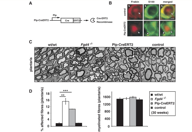 Inducible Schwann cell-specific gene ablation reveals that myelin maintenance depends on Frabin/Fgd4. ( A ) Tamoxifen-mediated induction of Frabin/Fgd4 ablation in 10-week-old Fgd4 flox/flox mice through activation of Plp promotor-driven Cre recombinase (Plp-CreERT2) results in ( B ) Schwann cell-specific loss of Frabin/Fgd4 protein in peripheral nerves of adult mice, shown on cryosections of sciatic nerve, 4 months after tamoxifen injections (arrow: Schwann cell; arrowhead: axon). ( C ) Aberrant myelin formation in plantaris nerves of 30-week-old Plp-CreERT2/ Fgd4 flox/flox (Plp-CreERT2) mice, tamoxifen-treated at 10 weeks of age as control mice, compared with age-matched Fgd4 − / − and wild-type (wt/wt) mice. ( D ) Quantification of myelinated fibres displaying aberrant myelin features (affected fibres) of identically obtained nerves as shown in C , revealing significantly increased numbers of affected fibres in Plp-CreERT2/ Fgd4 flox/flox mice (Plp-CreERT2) compared with wild-type or tamoxifen-injected control mice. Comparison of Plp-CreERT2 with Fgd4 − / − mice shows only a slight reduction in affected fibres. Total numbers of myelinated fibres were unchanged between the groups. Three mice were analysed for each group in all experiments. Scale bars = 5 µm. White arrows indicate affected fibres. ** P