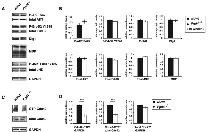 Ablation of Frabin/Fgd4 reduces activation of the RhoGTPase Cdc42 in peripheral nerves in vivo . ( A and B ) Western blot analyses demonstrating that total and active levels of AKT, ErbB2 receptor and JNK, and total levels of MBP and Dlg1, are not changed in sciatic nerve of Fgd4 − / − mice compared with wild-type (wt/wt) mice at the age of 10 weeks. ( C and D ) Active, but not total levels of Cdc42 are significantly reduced in sciatic nerves of adult Fgd4 − / − mice compared with age-matched wild-type mice. Tissues from four wild-type and Fgd4 − / − mice were analysed. *** P