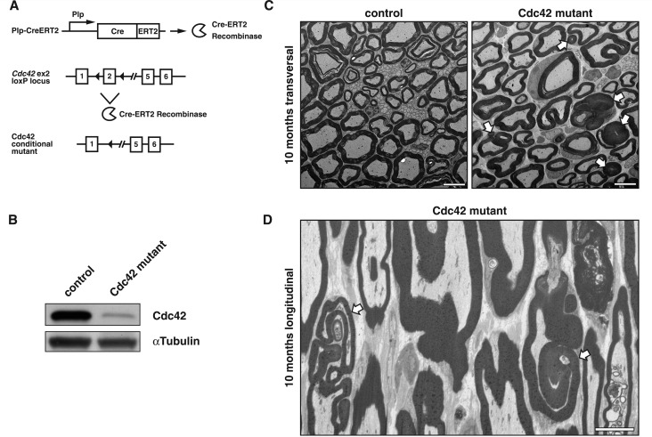 Inducible gene ablation reveals that loss of Cdc42 in adult myelinating Schwann cells causes histopathological aberrations phenocopying loss of Frabin/Fgd4. ( A ) Tamoxifen-mediated induction of Cdc42 ablation in 10-week-old Cdc42 flox/flox mice through activation of Plp promotor-driven Cre recombinase (Plp-CreERT2) results in ( B ) strongly reduced Cdc42 protein as shown by western blot analysis of sciatic nerve lysates obtained 7 months post-tamoxifen injection. ( C ) Aberrant myelin formations, including outfoldings and redundant myelin, in sciatic nerves of 10 months old PlpCreERT2/ Cdc42 flox/flox (Cdc42 mutant) mice (electron microscopy cross-sections). ( D ) Representative FIB-SEM-derived longitudinal section of Cdc42 mutant sciatic nerves prepared as in C (see also Supplementary Videos 1 and 2 ) showing myelin outfoldings in the vicinity of nodes of Ranvier. Scale bars = 5 µm. White arrows indicate fibres with aberrant myelin features.