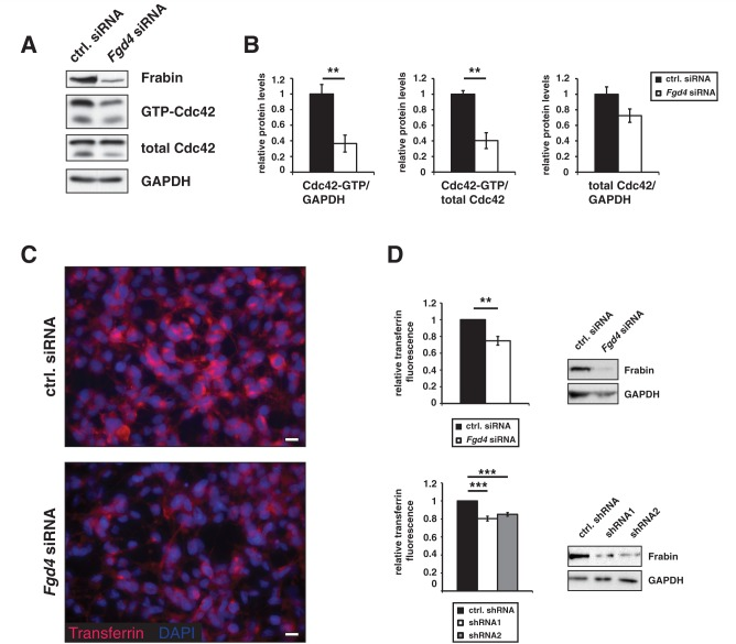 Knock-down of Frabin/Fgd4 leads to reduced activation of the RhoGTPase Cdc42 and impaired endocytosis. ( A and B ) Active, but not total levels of Cdc42 are significantly reduced in RT4 cells transfected with small interfering RNA (siRNA) targeting Frabin/Fgd4 in comparison with control-transfected cells. Four independent experiments were quantified. ( C ) Frabin/Fgd4-silenced RT4 cells qualitatively display reduced transferrin uptake ability compared with control-transfected cells. ( D ) Fluorescence activated cell sorting quantifications of Frabin/Fgd4-silenced RT4 cells reveal significant reductions in levels of incorporated transferrin. Transferrin fluorescence levels in cells transfected with small interfering RNA ( upper panel) or short hairpin RNA ( lower panel) targeting Frabin/Fgd4 were compared with transferrin fluorescence levels in cells transfected with control small interfering RNA or short hairpin RNA. Three independent experiments were quantified with small interfering RNA-transfected cells and four independent experiments with short hairpin RNA-transfected cells. Scale bars = 10 µm; ** P