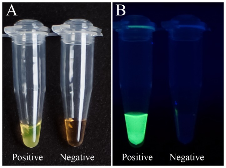 Visual detection of amplified LAMP products using <t>SYBR</t> green I. Addition of 1 µl of diluted SYBR <t>green</t> I to the reaction tube after LAMP reaction enables visible analysis of the results under natural light ( Figure 1A ) or UV irradiation ( Figure 1B ). The color changes from orange (negative reaction) to green (positive reaction) ( Figure 1A ) and bright fluorescence indicates a positive reaction ( Figure 1B ).