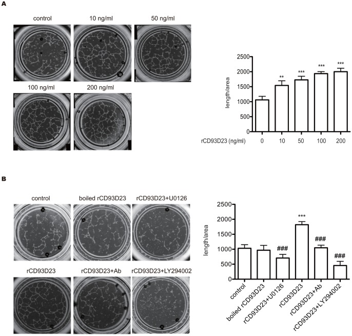 rCD93D23 induces tube formation through the activation of Akt and ERK in HUVECs on Matrigel in vitro . (A) rCD93D23 induced tube formation in a dose-dependent manner. (B) The tube formation induced by boiled rCD93D23, and rCD93D23 in the presence of polyclonal anti-CD93D23 IgG (10 µg/ml), U0126 (10 µM), or LY294002 (10 µM). Each value represents the mean ± SD (n = 3), and similar results were obtained in three independent experiments. **, p
