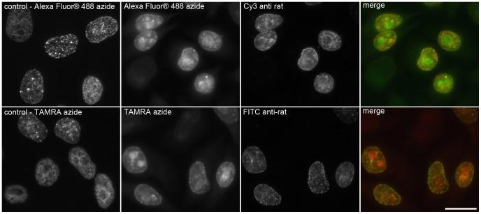 The increase of azido dye concentration and acid treatment results in a non-specific signal. The picture shows examples of the detection of incorporated EdU in DNA by means of a click reaction with 0.02 mM fluorescent dye without the HCl treatment (images labelled as control) and of detection with 0.2 mM fluorescent azido dyes and the antibody clone BU1/75 (Cy3 anti-rat and FITC anti-rat secondary antibodies) in cells treated with 4N HCl. Note that the higher concentration of fluorescent azido dyes and the subsequent treatment with 4N HCl led to a non-specific signal mainly in the nucleolus area. Barr: 20 µm.