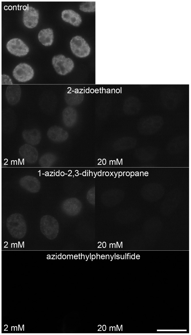 The suppression of the EdU signal using non-fluorescent azido molecules. The suppression of the signal provided by BU1/75 antibody after a click reaction with 2 or 20 mM 2-azidoethanol, 1-azido-2,3-dihydroxypropane or azidomethylphenylsulfide in cells labelled with EdU for 20 minutes. The images were acquired for 8 ms. Barr: 20 µm.