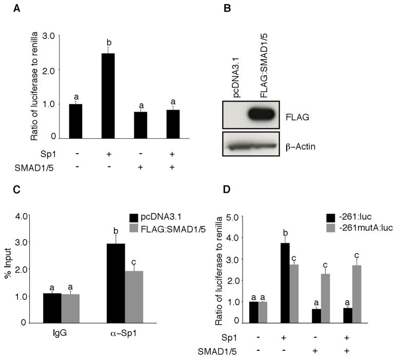 SMAD1/5 expression antagonizes Sp1 induction of PDGFA promoter. (A) COV434 cells were transiently co-transfected with 1 μg of -881:luc of the human PDGFA promoter and 0.5 μg of Sp1 and SMAD1/5 along with the renilla luciferase control plasmid (pRL-TK). Forty-eight hours after transfection, the cells were lysed and assessed for luciferase activity. Data are presented as the ratio of firefly luciferase to renilla. (B) Representative Western blot of whole cell lysates from COV434 cells transfected with either pcDNA3.1 or Flag-tagged SMAD1/5 expression plasmids and blotted with mouse anti-FLAG M2 antibody and mouse anti-β-actin antibody (loading control). (C) ChIP analysis in COV434 cells transfected with pcDNA3.1 or Flag-tagged SMAD1/5 expression plasmids. Chromatin cross-linked protein DNA complexes were immunoprecipitated with either anti-Sp1 antibody or with non-specific IgG and the PDGF-A promoter amplified by real-time PCR using locus specific primers. (D) SMAD1/5 represses the wild-type PDGFA promoter (-261:luc) but not the promoter bearing a mutation in the SMAD1/5 binding site (-261mutA: luc). COV434 cells were transiently co-transfected with 1 μg of -261:luc (control) or -261mutA: luc (mutant) and 0.5 μg of Sp1 and SMAD1/5 along with the renilla luciferase control plasmid (pRL-TK). Forty-eight hours after transfection, the cells were lysed and assessed for luciferase activity. Data are presented as the ratio of firefly luciferase to renilla. Different letters above the bars indicate statistically different means by ANOVA and post hoc analysis (n=4; P
