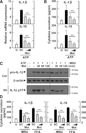 The antidiabetic drug metformin inhibits IL-1β and IL-18 production induced by various inflammasome stimuli in LPS-primed MDMs. Primary MDMs from healthy controls ( n = 5) were primed with LPS (10 ng/mL for 4 h) in the presence of a high glucose concentration (15 mmol/L). They were then treated with metformin (Met) at the indicated doses ( A , B , and D ; 200 and 500 μmol/L for 60 min) or for the indicated periods of time ( C ; 200 μmol/L for 30, 60, or 120 min), and stimulated with ATP ( A – C ; 1 mmol/L for 1 h), MSU ( C and D ; 100 μg/mL for 6 h), or FFAs ( D ; 200 μmol/L for 16 h). A : Quantitative real-time RT-PCR analysis of Il1β and IL8 mRNA levels. B and D : ELISA analysis of IL-1β and IL-18. C : Western blotting analysis of IL-1β protein levels in cell lysates (Cell, pro-IL-1β [31 kDa]) and supernatants (SN; mature IL-1β [17 kDa]). A , B , and D : Data are expressed as means ± SEM of five independent experiments. *** P