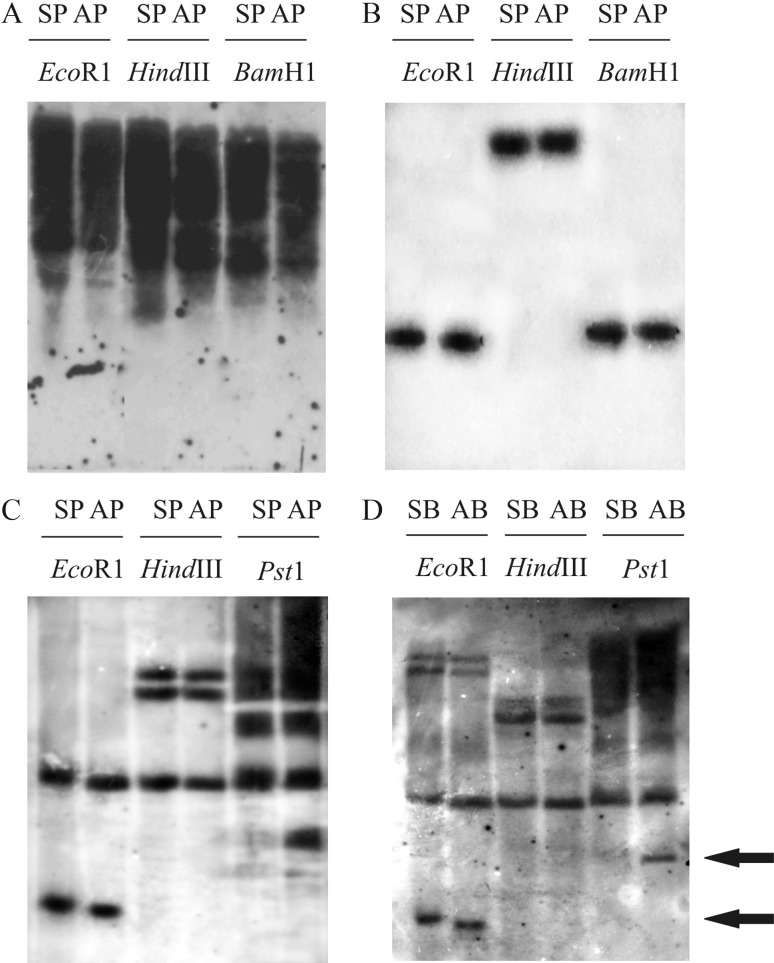 Southern blot of apospory-specific <t>AFLP-derived</t> sequences in <t>DNA</t> from sexual and apomictic Paspalum notatum. A, B and C: Hybridization of DNA from genotypes Q4188 (SP) and Q4117 (AP) with clones PnMAM3 , PnMAC5 and PnMAI3 , respectively, after digestion with three restriction enzymes. D: Hybridization of PnMAI3 against sexual (SB) and apomictic (AB) bulks obtained from ten F 1 sexual and apomictic progenies, respectively. Arrows indicate polymorphic bands between parental plants and sexual and apomictic bulks.